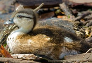 I Love Little Baby Ducks by Cheryl McLendon