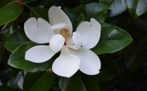 Magnolia by Jill Eubanks