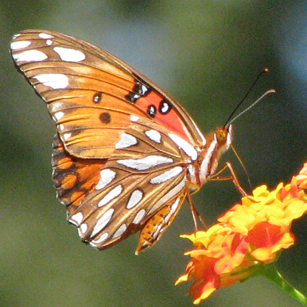 Gulf fritillary butterfly feeding on lantana